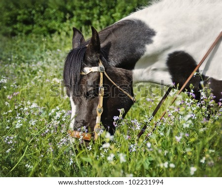 Senior Paint Horse grazing in a field of wildflowers in the spring while wearing a bridle in the late afternoon sun - stock photo