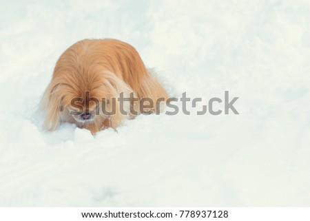 Senior pekingese dog in the snow wearing playing in the park on the snow. Winter time. dog in good mood on a walk