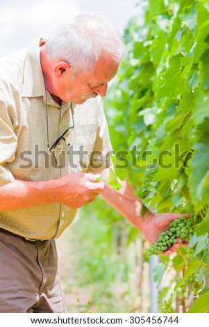 Senior professional winemaker checking this year's grape produce. - stock photo