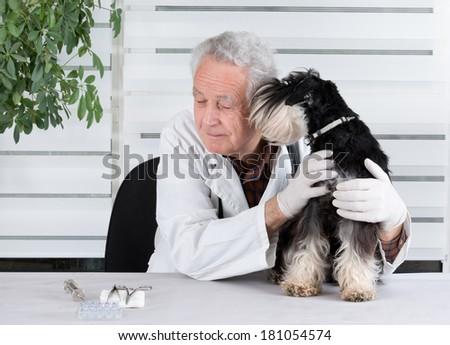 Senior veterinarian hugs miniature schnauzer on table - stock photo