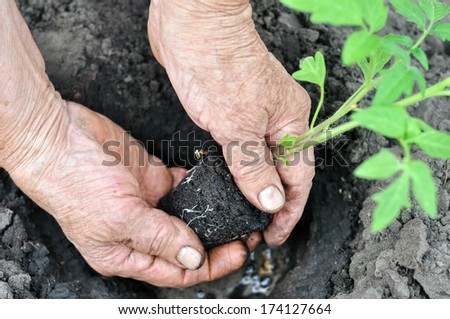 senior woman holding a tomato seedling before the planting in the vegetable garden  - stock photo