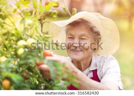 Senior woman in her garden harvesting tomatoes - stock photo
