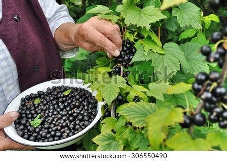 Senior woman picking black currant in the garden - stock photo