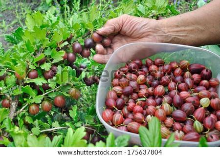 Senior woman picking gooseberries in the garden - stock photo