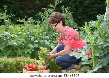 Senior woman picking vegetables in kitchen garden - stock photo