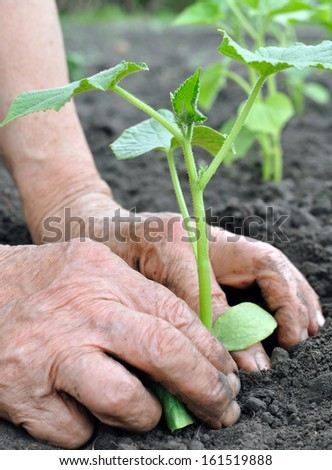 senior woman planting a cucumber  seedling in the vegetable garden - stock photo