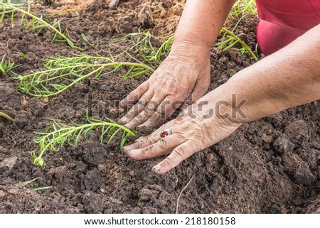 senior woman planting a flower seedling - stock photo