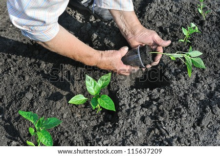 senior woman planting a pepper seedling in the vegetable garden