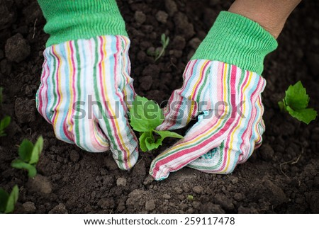 Senior woman planting a seedling in the vegetable garden wearing gloves - stock photo