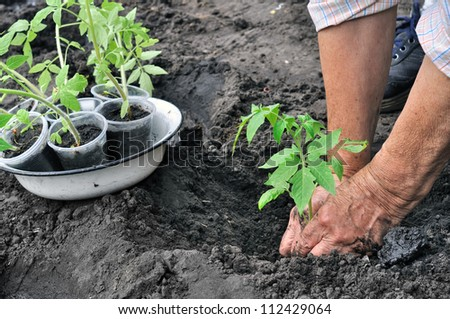 senior woman  planting a tomato seedling - stock photo