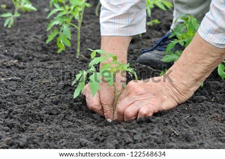 senior woman planting a tomato seedling in the vegetable garden - stock photo