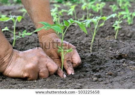 Senior woman planting a tomatoes seedling - stock photo