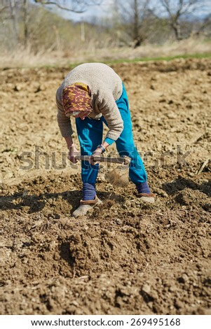 Senior woman sowing potato tubers into the plowed soil - stock photo
