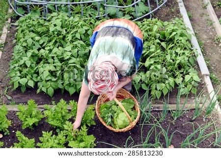 Senior woman with hat and apron picking lettuce from vegetable garden. View from above - stock photo