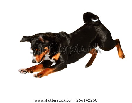 Sennenhund Appenzeller black tricolor dog isolated on white - stock photo