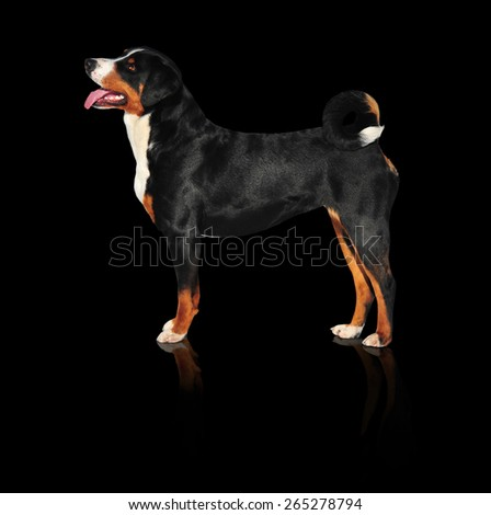 Sennenhund Appenzeller tricolor dog isolated on black - stock photo