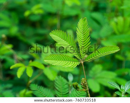 Sensitive plant  background. (mimosa pudica plant)