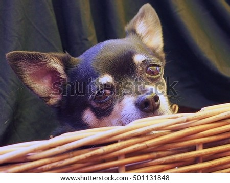 Sensitive Precious Brave Chihuahua Peeps Out of a Basket.