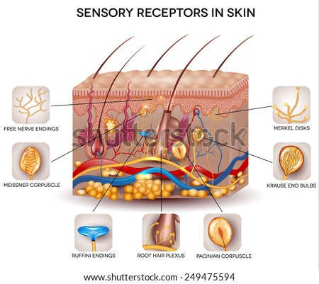 Sensory receptors in the skin. Detailed skin anatomy, beautiful bright colors. - stock photo