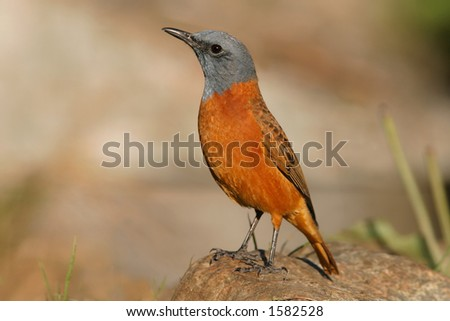 Sentinel rock thrush (Monticola explorator) perched on a rock, South Africa