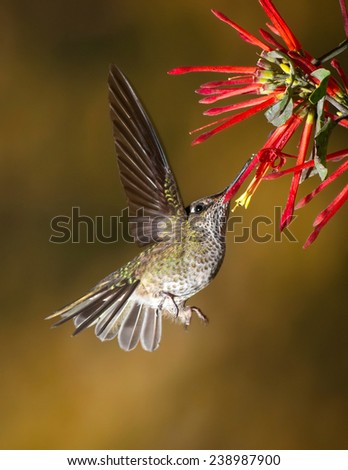 Sephanoides sephaniodes feeding on a Quintral's (Tristerix tetrandrus) nectar. Patagonia, Argentina, South America. - stock photo