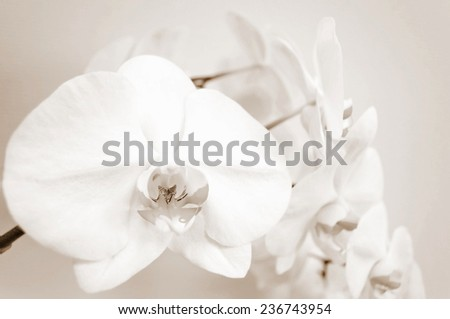 Sepia background with orchid flowers  - stock photo
