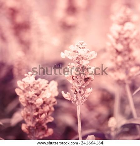 sepia color tone of close up Sage plant (lat. Salvia Officinalis)  - stock photo