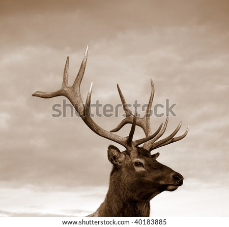 Sepia of a young male Wapiti elk - stock photo