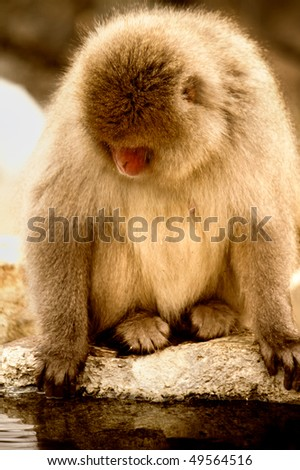 Sepia tone image of Japanese snow monkey sitting on rock by onsen, Japan - stock photo