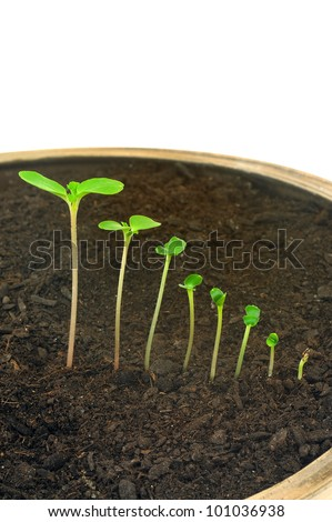 Sequence of Impatiens balsamina flower growing, isolated, evolution concept - stock photo
