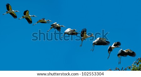 Sequence of Wood Stork in flight landing - stock photo