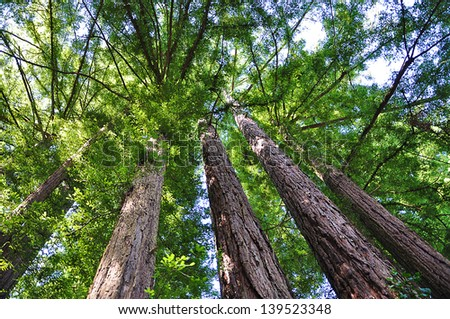Sequoia Giant Trees in Yosemite National Park, USA - stock photo