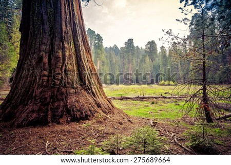 Sequoia Overlooking the Meadow, Sequoia National Park, California  - stock photo