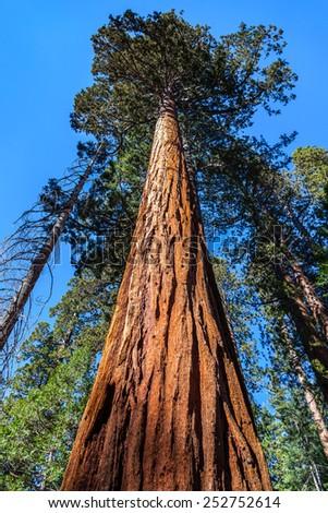 Sequoia tree, Mariposa Grove, Yosemite National Park - stock photo