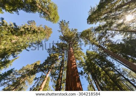 Sequoias in Mariposa Grove of Yosemite National Park, California, USA. - stock photo