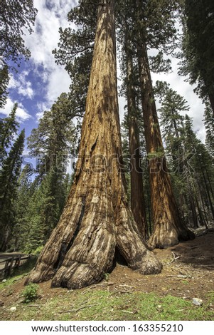 Sequoias in Wawona, Yosemite National Park - stock photo