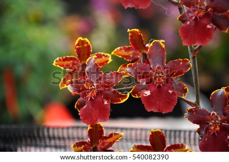 SERDANG, MALAYSIA -DECEMBER 07, 2016: Colorful tropical & exotic orchids flower in plants nursery at Serdang, Malaysia.