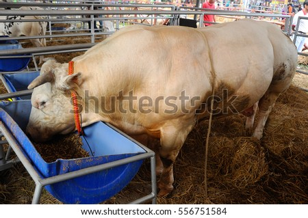 SERDANG, MALAYSIA -DECEMBER 17, 2017: Cows in the barn. This cows from a good breeder and bred for sale.