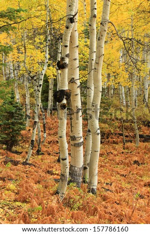 Serene aspen trees in the Utah mountains, USA.