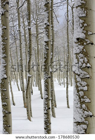 Serene aspen trees with fresh snow in the Utah mountains, USA.
