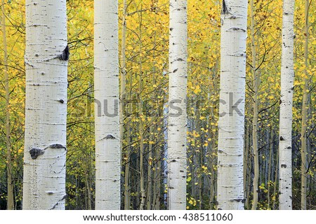 Serene yellow aspen background from the Wasatch Mountains, Utah, USA. - stock photo