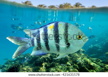 Sergeant Major_Abudefduf saxatilis and coral reef - Red Sea