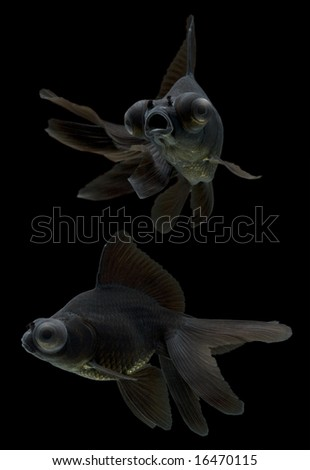Series of black moor goldfish swimming against black background.