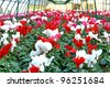 series of vases of flowers violets and cyclamen in a greenhouse in winter - stock photo