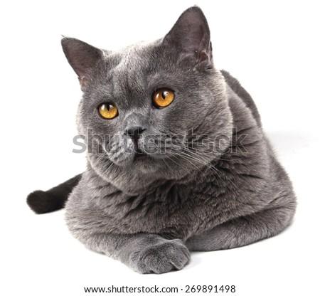 Serious big British cat - stock photo