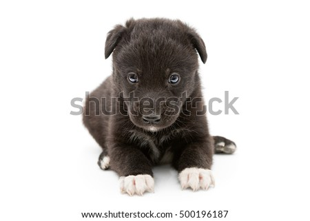Serious black puppy with white paws, isolated