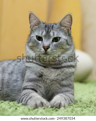 Serious cat, cat at home, proud cat, funny cat, grey cat, Cat, resting cat, cat close up, young cat, domestic cat, relaxing cat, lazy cat on day time, portrait of elegant domestic, cat with green eyes - stock photo