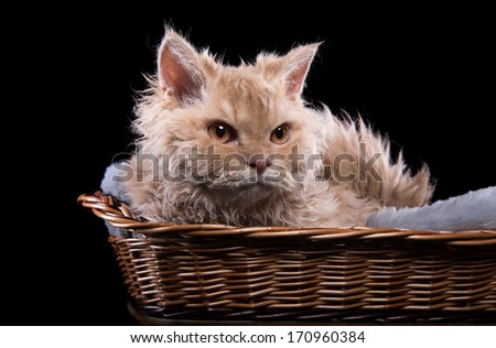 Serious cat is isolated on a black background - stock photo