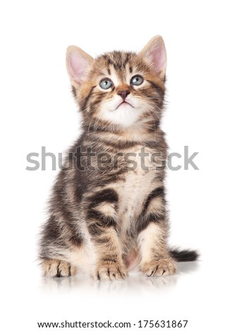 Serious cute little tabby looks up isolated on white background