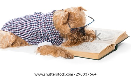 Serious dog breed Brussels Griffon in glasses reading a book, isolated on white - stock photo